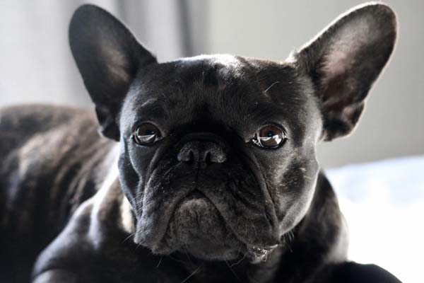 When Should You Take Your French Bulldog To The Vet