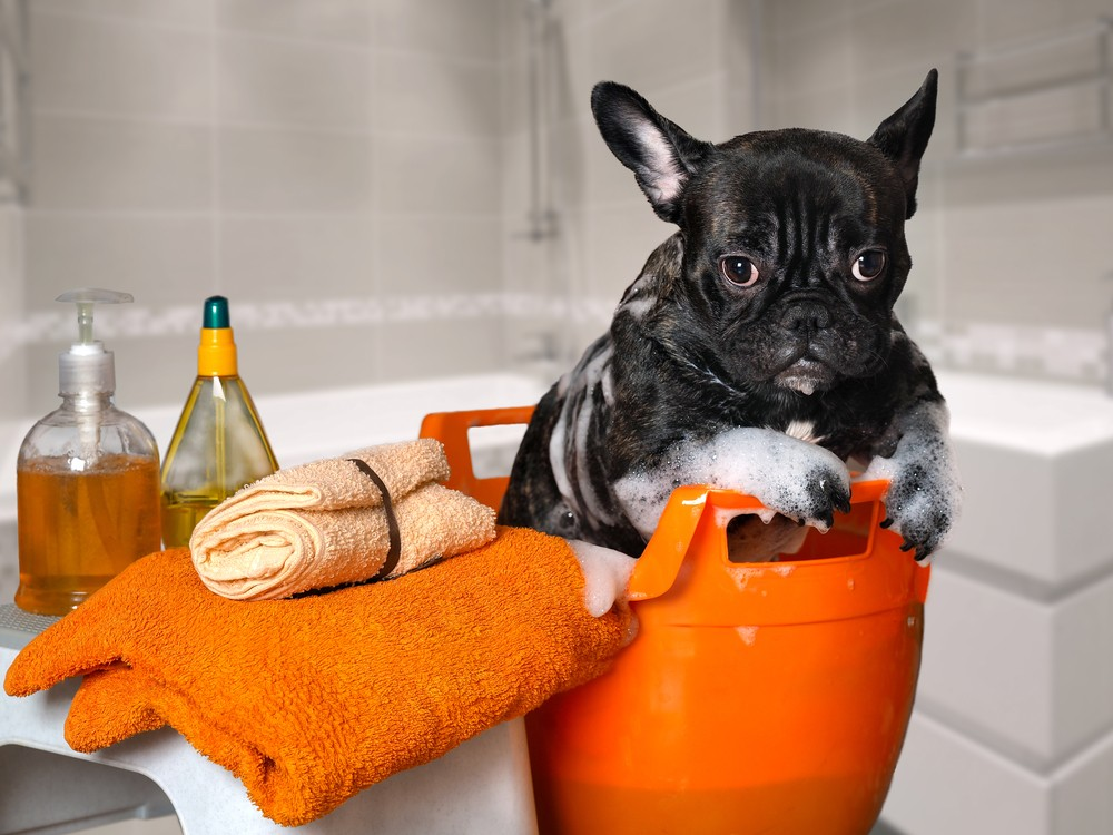 how to clean french bulldog puppy ears