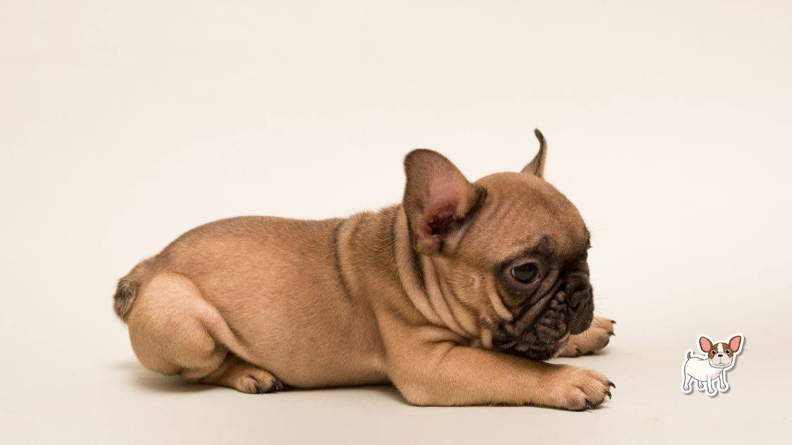 French Bulldog's ears should be up or down